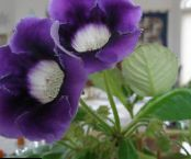 Pot Flowers Sinningia (Gloxinia) herbaceous plant photo dark blue