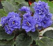 African violet dark blue Herbaceous Plant