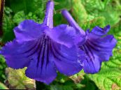 Strep dark blue Herbaceous Plant