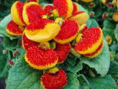 Slipper flower red Herbaceous Plant