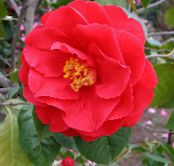 Camellia red Tree