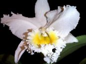 Pot Flowers Cattleya Orchid herbaceous plant photo white