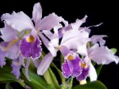 Pot Flowers Cattleya Orchid herbaceous plant photo lilac