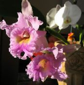 Pot Flowers Cattleya Orchid herbaceous plant photo pink