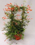 Candy Corn Vine, Firecracker Plant red Liana