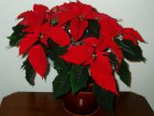 Poinsettia red Herbaceous Plant
