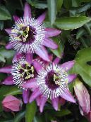 Passion flower lilac Liana