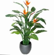 Bird of paradise, Crane Flower, Stelitzia herbaceous plant, Strelitzia reginae photo orange