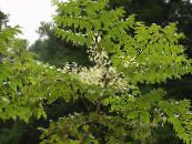 Garden Flowers Japanese angelica tree, Aralia photo white