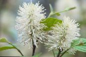 Witch alder, Fothergilla white