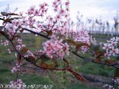 Bird Cherry, Cherry Plum pink
