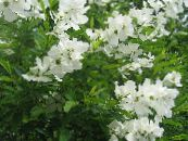 Pearl bush white
