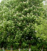 Horse Chestnut, Conker Tree white