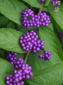 Beauty berry lilac