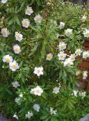 Bush Anemone, Tree Anemone white
