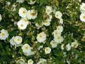 Rock rose, Sun Rose white