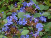 Leadwort, Hardy Blue Plumbago dark blue
