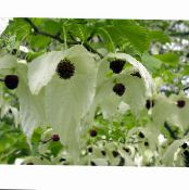 Dove tree, Ghost tree, Handkerchief tree white