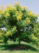 Golden Rain Tree, Panicled Goldenraintree yellow