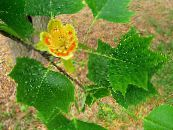 Tulip tree, Yellow Poplar, Tulip Magnolia, Whitewood yellow