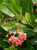 Strawberry Tree pink