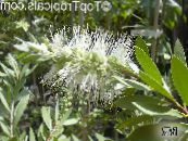 Bottlebrush white