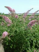 Garden Flowers Butterfly Bush, Summer Lilac, Buddleia photo pink