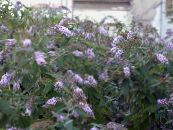 Butterfly Bush, Summer Lilac lilac