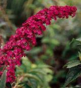 Butterfly Bush, Summer Lilac red