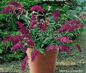 Garden Flowers Butterfly Bush, Summer Lilac, Buddleia photo burgundy