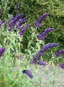 Garden Flowers Butterfly Bush, Summer Lilac, Buddleia photo dark blue