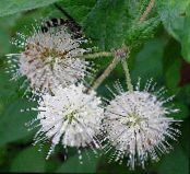 Garden Flowers Buttonbush, Honey Bells, Honeyball, Button Willow, Cephalanthus photo white