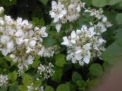 Blackberry, Bramble white