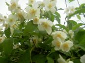 Mock orange white