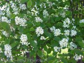 Shadbush, Snowy mespilus white