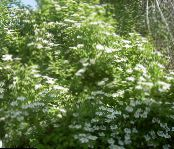 European Cranberry Viburnum, European Snowball Bush, Guelder Rose white