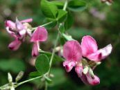 Shrub Bush Clover pink