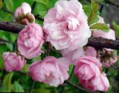 Double Flowering Cherry, Flowering almond pink