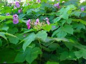 Purple-flowering raspberry, Thimbleberry pink