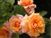 Polyantha rose orange