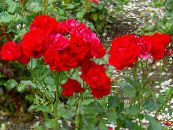 Polyantha rose red