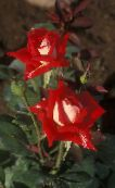 Grandiflora rose red