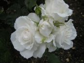 Grandiflora rose white