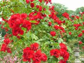 Rose Ground Cover red