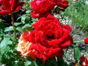 Hybrid Tea Rose red