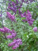 Common Lilac, French Lilac purple