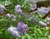 Common Lilac, French Lilac lilac
