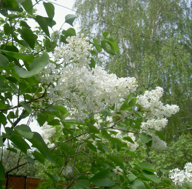 I fiori da giardino lilac comuni lilla francese syringa - Giardino francese ...