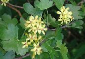 Golden Currant, Redflower Currant yellow