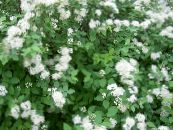 Spirea, Bridal's Veil, Maybush white